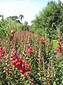 Antirrhinums in the vegetable garden at Heligan - geograph.org.uk - 1400966.jpg
