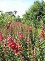 Antirrhinums in the vegetable garden at Heligan - geograph.org.uk - 1400966.jpg