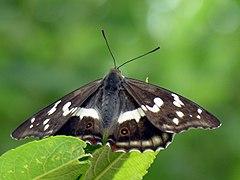 Apatura iris 2006-07-12.JPG
