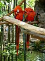 Ara macao in the Oasis Exhibits at Disney's Animal Kingdom.jpg