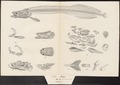 Arapaima gigas - anatomie - 1829 - Print - Iconographia Zoologica - Special Collections University of Amsterdam - UBA01 IZ15000202.tif