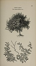 Arboretum et fruticetum britannicum, or - The trees and shrubs of Britain, native and foreign, hardy and half-hardy, pictorially and botanically delineated, and scientifically and popularly described (14597318310).jpg