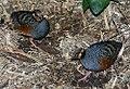 Arborophila javanica 0zz.jpg
