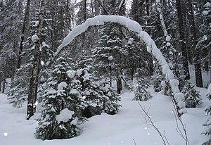 Scandinavian and Russian taiga - Taiga forest near Archangelsk