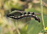 Arcte coerula larva 08Oct16.jpg