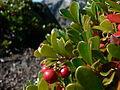 Arctostaphylos uva-ursi 25923.JPG