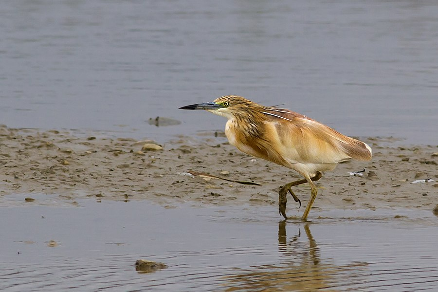 English:  Squacco Heron.