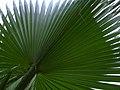 Arecaceae in iran نخل ها در ایران 03.jpg