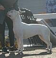 Argentine Dogo 2.jpg