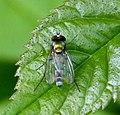 Argyra sp. Dolichopodidae - Flickr - gailhampshire (1).jpg