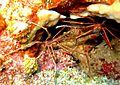 Arrow Crabs on Cobblers Reef.jpg