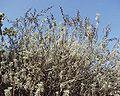 Artemisia arborescens 13102001 Var.jpg