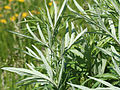 Artemisia vulgaris - mugwort 0081.jpg