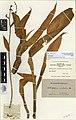 Arthropodium cirratum (G.Forst.) R.Br. (AM AK184751).jpg