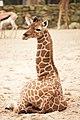 Artis Little Nzuri (7 days old) taking a rest (12994534825).jpg