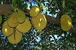 Arboj De Hindio Wikipedia S Trees Of India As Translated
