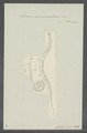 Ascaris vermicularis - - Print - Iconographia Zoologica - Special Collections University of Amsterdam - UBAINV0274 104 03 0023.tif