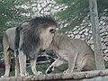 Asiatic Lions 02.jpg