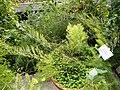 Asparagus krebsianus - Copenhagen Botanical Garden - DSC08017.JPG