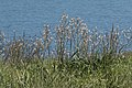 Asphodelus aestivus - Common Asphodel 05.jpg