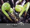 Asplenium trichomanes subsp. quadrivalens sl20.jpg