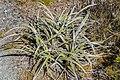 Astelia nivicola in Lewis Pass Scenic Reserve 14.jpg