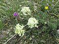 Astragalus - Flickr - brewbooks.jpg