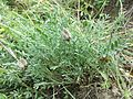 Astragalus vesicarius subsp. vesicarius sl6.jpg