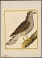 Astur palumbarius - 1700-1880 - Print - Iconographia Zoologica - Special Collections University of Amsterdam - UBA01 IZ18300011.tif