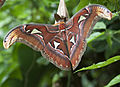 Atlas Moth (4872450084).jpg