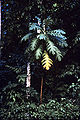 Atrocarpus altilis WPC.jpg