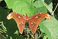 Attacus atlas - Atlas moth - at Peravoor.jpg