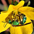 Augochloropsis sp. (metallic green sparkle-bee) (7829673912).jpg