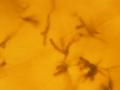 Aureobasidium spores 160X.png