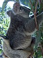 Australia koalas - panoramio.jpg