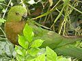Australian King Parrot - juvenile male (Alisterus scapularis) 03.JPG