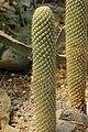 Austrocylindropuntia pachypus (27323957447).jpg
