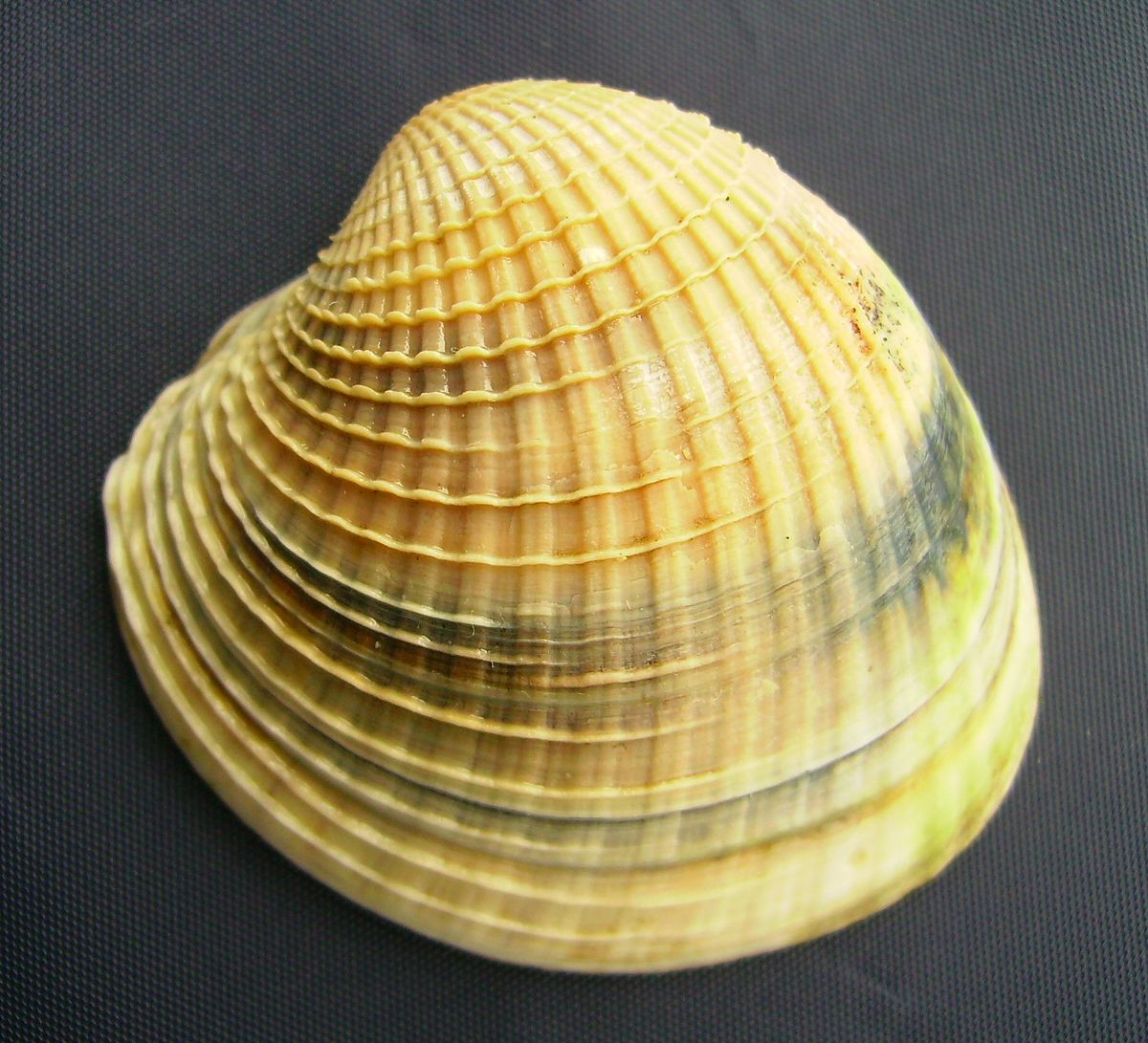 study of the bivalve mollusc cockles In this study, seven species of bivalves (bloody cockle, japanese cockle, surf clam, razor clam, horse clam, short-neck clam and japanese oyster) were confirmed to be allergenic by enzyme-linked immunosorbent assay (elisa) and their major allergens were identified as tropomyosin by immunoblotting.