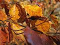 Autumn leaves (6958006946).jpg
