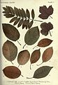 Autumnal leaves (Plate 7) (6796243935).jpg