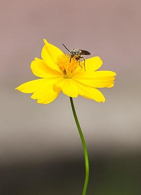 Bộ sưu tập côn trùng 2 - Page 3 280px-Avispa_%28Chlorion_lobatum%29_en_una_Sphagneticola_trilobata%2C_Ciudad_Ho_Chi_Minh%2C_Vietnam%2C_2013-08-14%2C_DD_01