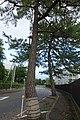 AwazuSeiran-tree1-2.jpg
