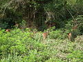 Axis axis - spotted deer - chital - from Bannerghatta National Park 8431.JPG