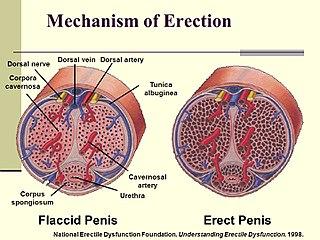 befolyásolja-e a tesztoszteron a pénisz növekedését