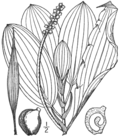 BB-0184 Potamogeton illinoensis.png