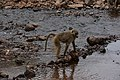 Baboons, Lake Manyara National Park (4) (27968215543).jpg