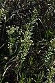 Baccharis gibertii- Canelones, Colinas de Solymar, Bañado al sur de la Ruta Interbalnearia 12.jpg