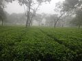 Bajra Tea Garden, Bhadrapur.jpg