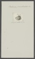 Balanus punctulatus - - Print - Iconographia Zoologica - Special Collections University of Amsterdam - UBAINV0274 101 02 0018.tif