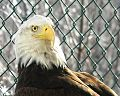Bald Eagle at the Southern Vermont Natural History Museum.JPG